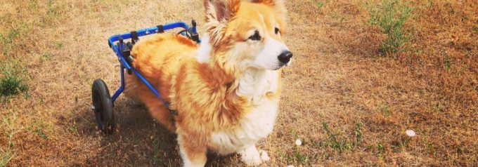 What I have learned, and keep learning, from my corgidog!